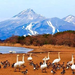 猪苗代湖志田浜の白鳥と磐梯山